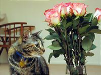 ピンクのバラ。
