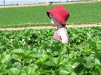食べながら畝の中を歩く小さな女の子。かわいい。