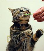 猫草ちょうだーい。