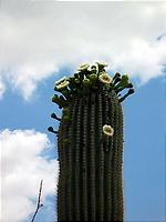 サボテンの花盛り。
