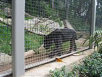 歩き回る黒豹。