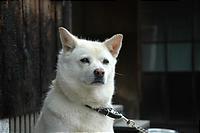 正しい日本の犬