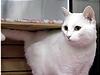 危ないところだった美しい白猫『KC』。