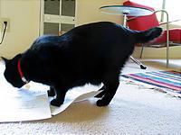 書類を踏みつけにする、短尾猫。