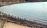 海岸で休む野鳥の群れ。