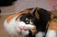 正しい日本の三毛猫。