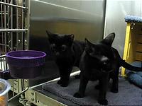 いつでもたくさんいる黒猫。