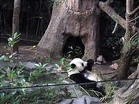 ものぐさに笹を食べるパンダ。
